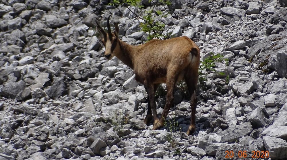 Camoscio - Monte Rossa